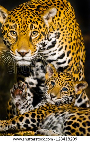 Protective Female Jaguar looking towards the camera while her little cub shows its paw