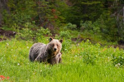 Protective looking mother brown bear with sub hiding behind.
