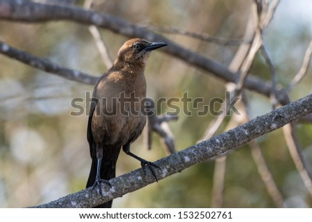 Protective Rusty Blackbird stands guard on his branch perch with a watchful eye out for danger.