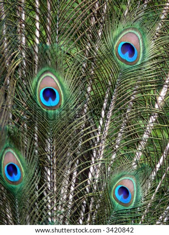 protrait of peacock feathers in vertical position