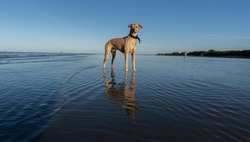 Proud big dog standing in the water. Baige colored young crossbreed dog of greyhound, shar pei and  pitbull. Silhouettes of people on a beach. Sunset,  waves and low tide. De la Plata River