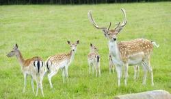 Proud Buck Fallow Deer with the herd