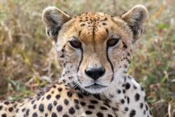 Proud cheetah overlooking its neighborhood at Serengeti National Park, Tanzania, Africa.