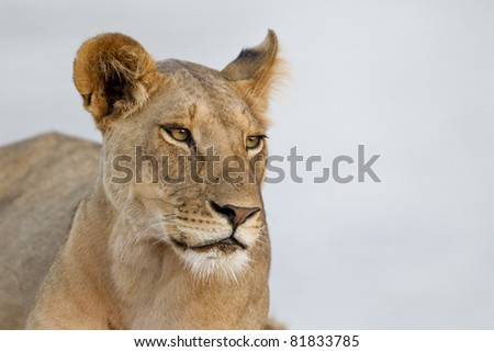 Proud lioness in the evening light, Samburu National Reserve, Kenya, East Africa - stock photo