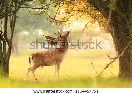 Proud male fallow deer stag, Dama Dama, with big antlers foraging for leaves and berries in a dark green forest during Fall season sunrise. #1104467951