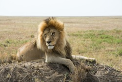 Proud male lion king with impressive mane relaxes on a termite hill, Serengeti National Park, Tanzania, Africa.