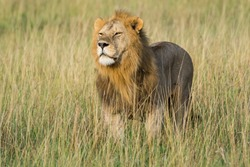 Proud male lion king with impressive mane scanned the environment at Serengeti National Park, Tanzania, Africa.