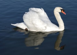 Proud mute swan and his mirror image