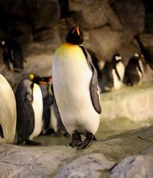 Proud Penguin