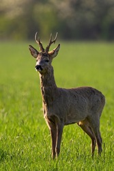 Proud roe deer, capreolus capreolus, buck with antlers standing on a meadow in spring and sniffing for danger backlit by morning sun. Male mammal with brown fur in vertical composition from front view
