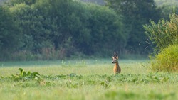 Proud roe deer, capreolus capreolus, buck with big antlers standing on meadow in summer nature with copy space. Majestic territorial male animal in green grass at sunrise.