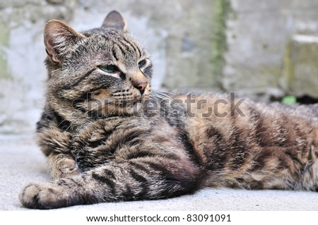 proud  tabby cat laying outdoors