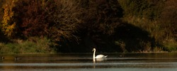 Proud white elegant  swan swims alone in the clear water of a atmospheric lake in front of a group dark trees in the season autumn.