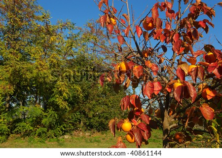 Provaglio (Bs),Franciacorta,Lombardy,Italy,a persimmon tree in November