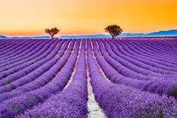 Provence, France. Lavender field summer sunset landscape near Valensole.