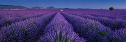 Provence lavender fields in Valensole Plateau at sunset in Summer. Alpes-de-Haute-Provence, France
