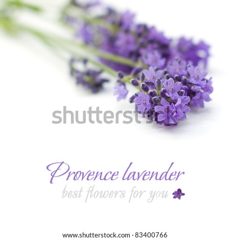 Provence lavender flower on white background