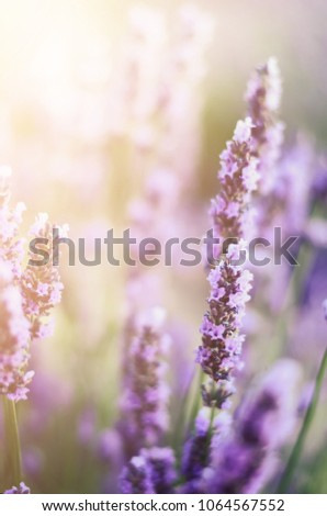 Provence nature background. Lavender field in sunlight with copy space. Macro of blooming violet lavender flowers. Summer concept, selective focus. #1064567552