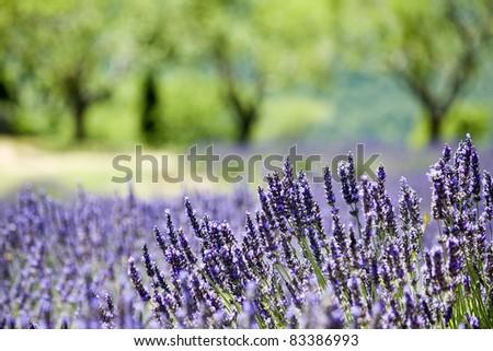 Provence, typical landscape.Lavender field. France
