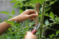 Prune the water shoots that grow between the stems and twigs of the tomato plant