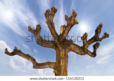 Pruned Tree on a Blue Sky / Detail of the upper part a pruned brown tree on blue sky