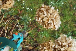 Pruning a hydrangea shrub with withered flowers with a secateurs in a Dutch garden. Faded grass and snowdrops in the background. Netherlands, Late winter, spring. March