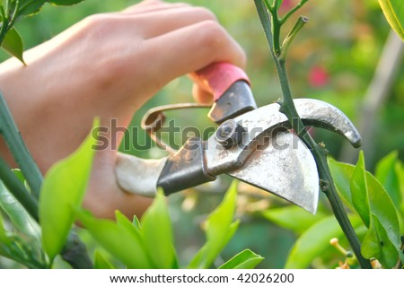 Pruning an orange tree with secateurs in the garden.