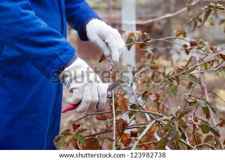 Pruning blackberry bush with the pruner
