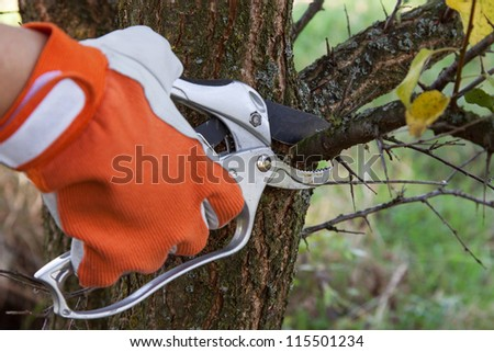 Pruning fruit trees by pruning shears