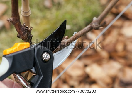 Pruning in a Danish wineyard outdoors in early spring.