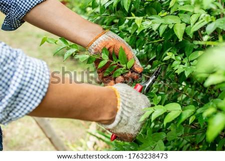 Pruning roses in the garden, gardener's hands with secateurs Stockfoto ©