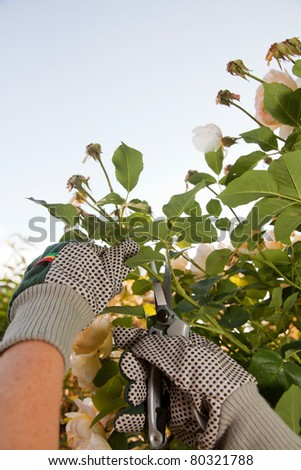 Pruning the rose bushes