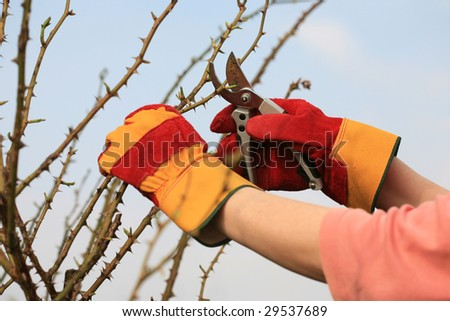 Pruning the roses.