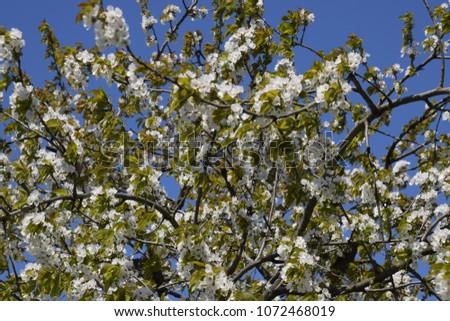Prunus avium Flowering cherry. Cherry flowers on a tree branch. #1072468019