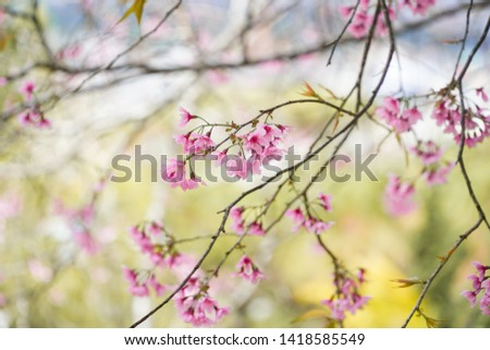 Prunus cerasoides, called the wild Himalayan cherry and sour cherry,[3] is a deciduous cherry tree found in East Asia, South Asia and Southeast Asia