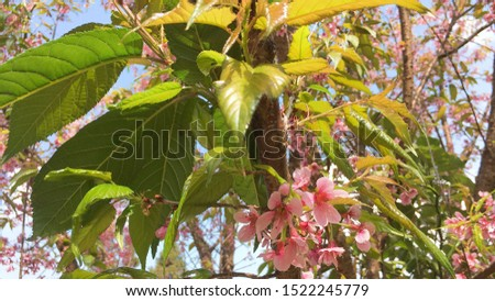 Prunus cerasoides, called the wild Himalayan cherry and sour cherry, is a deciduous cherry tree found in East Asia, South Asia and Southeast Asia. It is of the family Rosaceae and the genus Prunus.