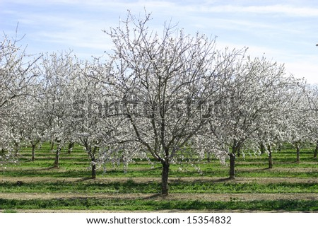 Prunus dulcis, flowering nonpareil almond trees