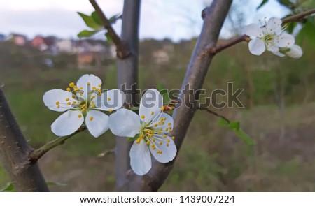 Prunus in bloom white blooms in the spring #1439007224