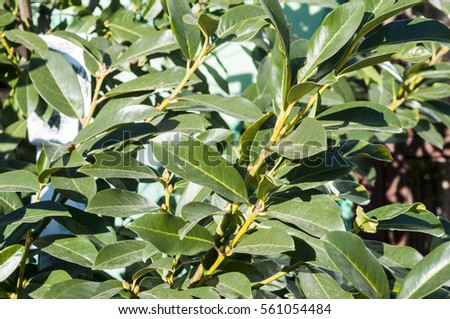 Prunus laurocerasus, also known as cherry laurel, common laurel and sometimes English laurel #561054484