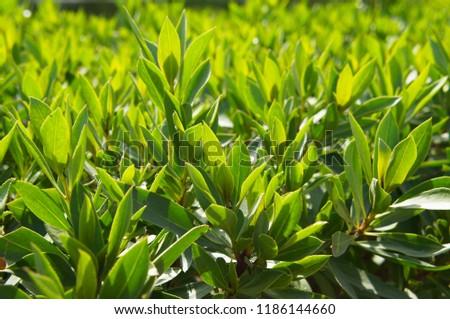 Prunus laurocerasus or cherry laurel or common laurel  green plant in sunlight #1186144660