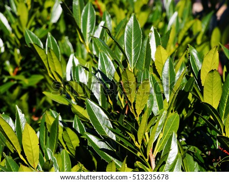 Prunus laurocerasus 'Otto Luyken' - cherry laurel, common laurel   #513235678