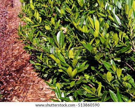 Prunus laurocerasus 'Otto Luyken' - cherry laurel, common laurel   #513860590
