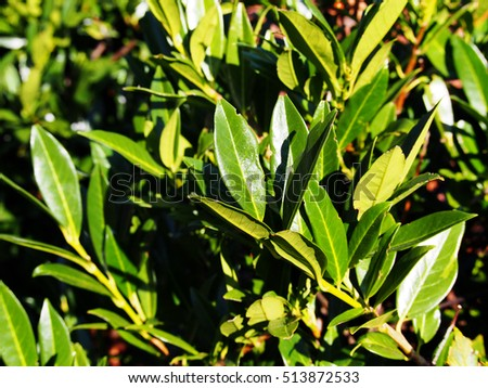 Prunus laurocerasus 'Otto Luyken' - cherry laurel, common laurel   #513872533
