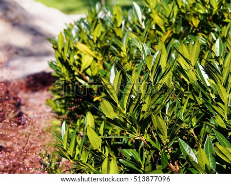 Prunus laurocerasus 'Otto Luyken' - cherry laurel, common laurel   #513877096