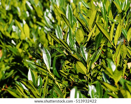 Prunus laurocerasus 'Otto Luyken' - cherry laurel, common laurel   #513932422