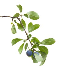 Prunus spinosa (blackthorn; sloe) small branch with berries isolated on white background