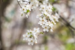 Prunus spinosa, called blackthorn or sloe, is a species of flowering plant in the rose family Rosaceae