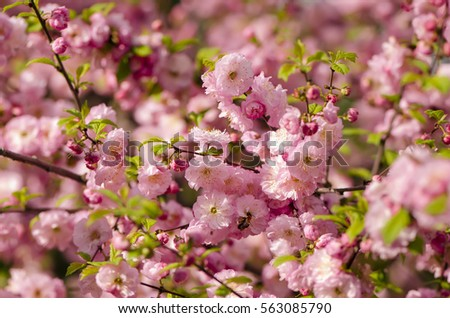 Prunus Triloba Louiseania Blossoms Spring Bush Of Almond With