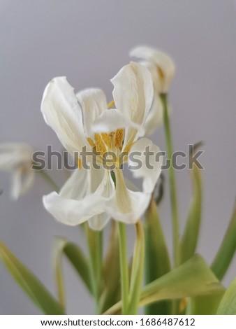 Przekształcenie białego tulipana podczas usychania Zdjęcia stock ©