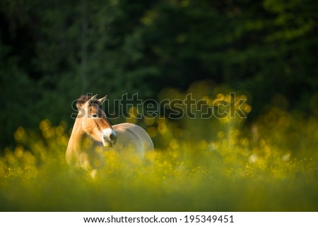 Przewalski horse grazing on a lovely meadow #195349451